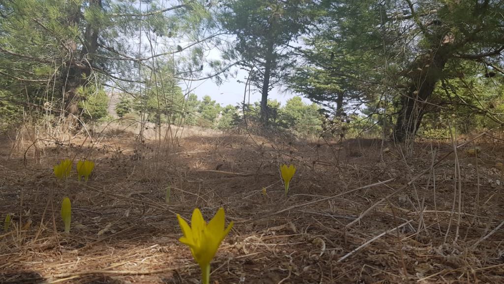 החלה פריחת החלמונית ביער ביריה