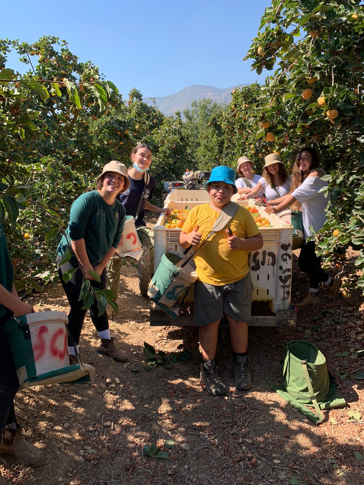 חברי מועצת הנוער במועצה אזורית הגליל העליון מתנדבים למען החקלאים
