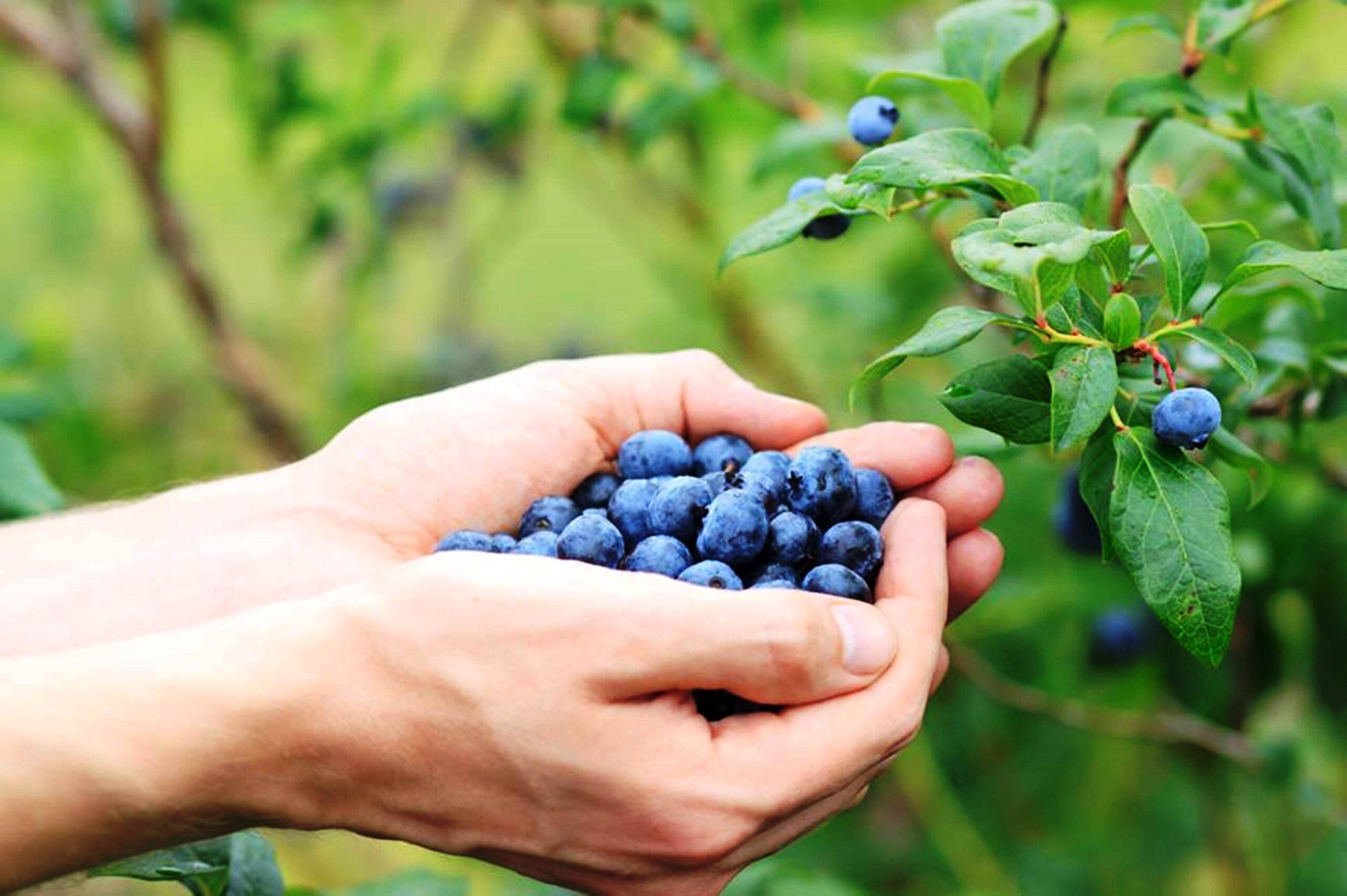 החל קטיף עצמי של פירות יער בבוסתן 'בראשית' בעין זיוון
