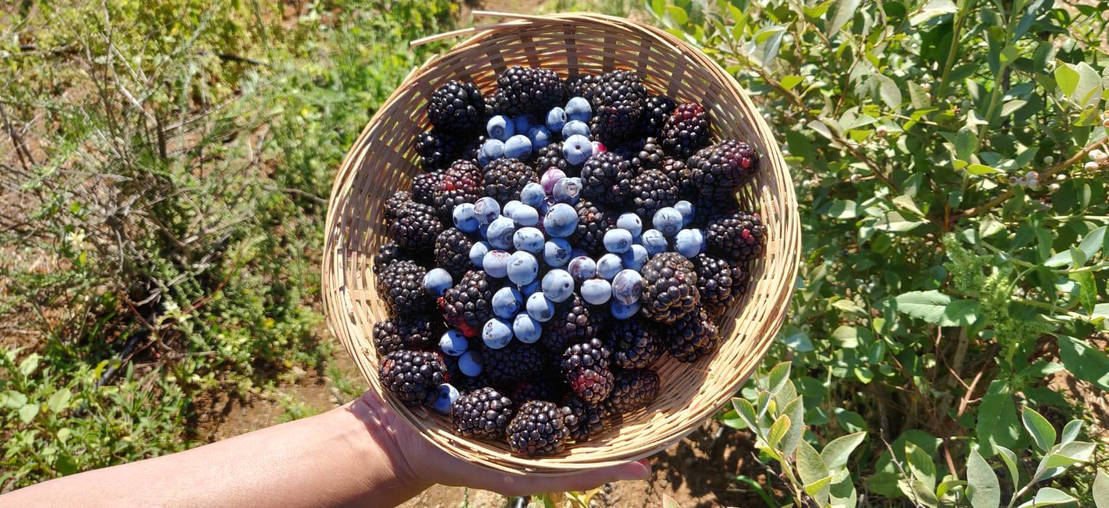 סוף שבוע אחרון לקטיף עצמי של דובדבנים והתחלת קטיף של פירות יער בבוסתן 'בראשית' בעין זיוון