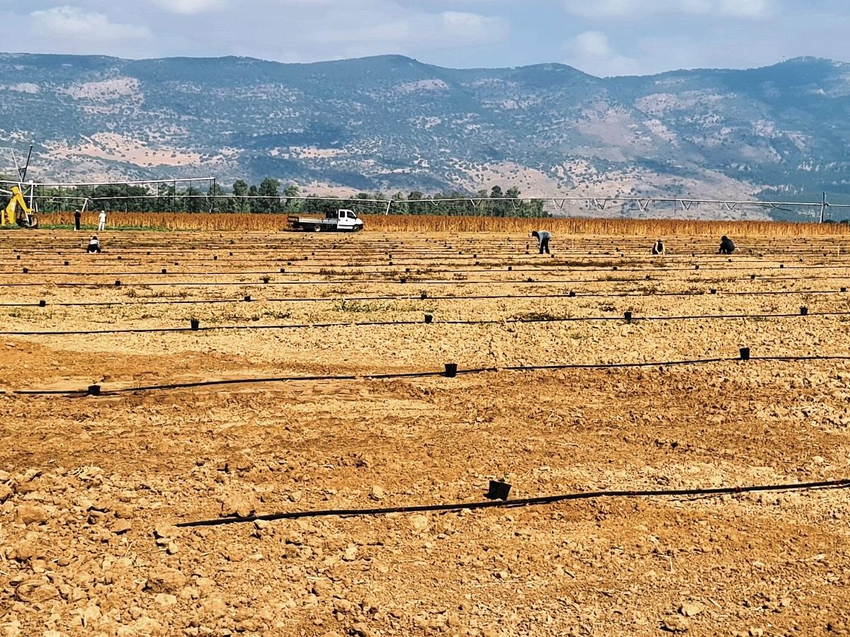 גידול חדש בגליל העליון: חרוב לתעשיית מוצרי מזון טבעי ובריא