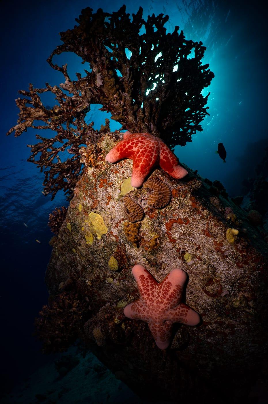 זוג גרגירנים מגושמים (כוכב ים) נצפה בשמורת האלמוגים באילת